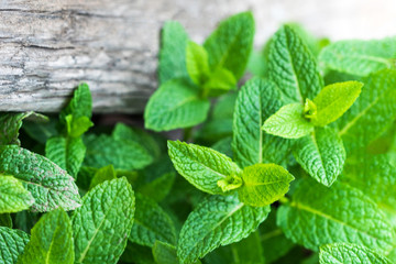 Fresh mint leaf,  lemon balm herb on wooden background with copyspace, close up.