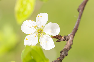 Springtime in orchard - blooming plum tree