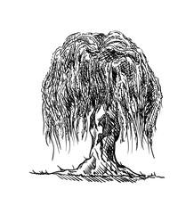 willow tree draw