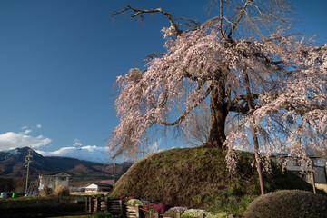 一里塚に立つ桜と雪化粧した浅間山