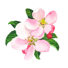 Pink flowers of apple-tree with watercolor. Spring bouquet with flowers and leaves on a white background. Perfectly suitable for your postcards, invitations, weddings.