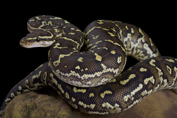 Angola python, Python anchietae Wall mural