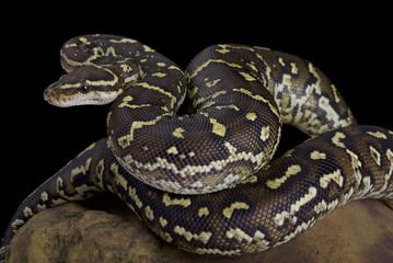 Angola python, Python anchietae