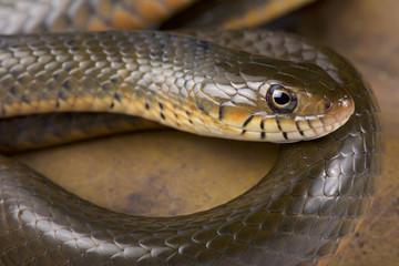 Smith's African Water Snake, Grayia smithii.