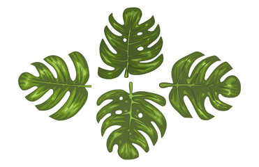 Monstera Tropical Leaves Vector Illustration
