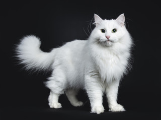Impressive solid white Siberian cat standing side ways isolated on black background  looking straight in camera Wall mural