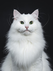 Head shot of mpressive solid white Siberian cat sitting b isolated on black background  looking straight in camera