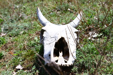 Old dry cow skull on a grass slope in the spring time
