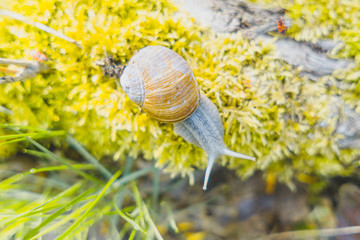 Snail with house on moss, Nature close up with shallow focus area and bokeh