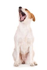 Gähnender Mischlingshund isoliert auf weißem Hintergrund