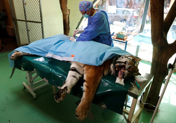 Veterinarian, Gippert performs non invasive stem cell surgery on Igor, the 13 year-old Siberian tiger in Zoo Szeged