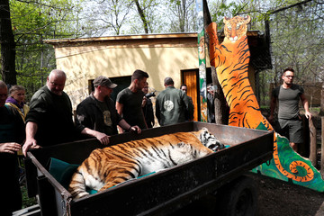 Igor, the 13 year-old Siberian tiger lies on a cart before the non invasive stem cell surgery in Zoo Szeged