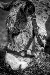 donkey for pet therapy - black and white image
