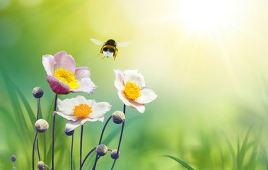 Wall Mural - Beautiful pink flowers anemones on meadow and flying bumblebee macro on soft blurry light green background in warm  summer in sunshine in nature, bright soulful artistic image, copy space.