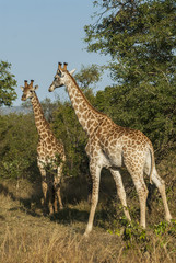 Giraffa, Kruger National Park