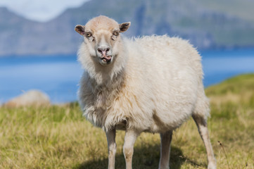 Funny sheep smiling, exposing tongue, standing on a grassland in Faroe Islands