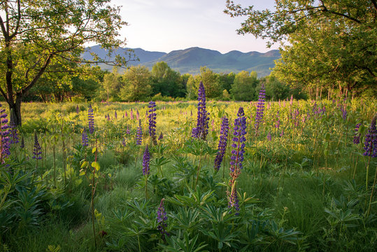 Lupine Flowers in Sugar Hill New Hampshire