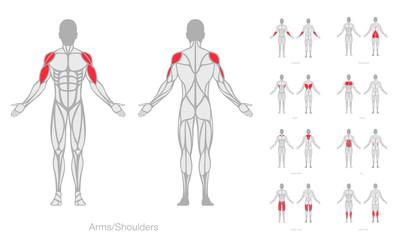 Human muscles anatomy model vector Fototapete