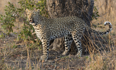 one leopard walking hunting in nature during daytime