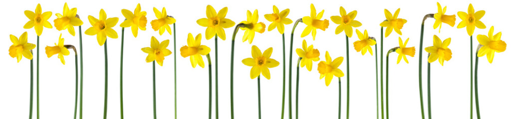 Spoed Fotobehang Narcis beautiful yellow daffodils isolated on white, can be used as background