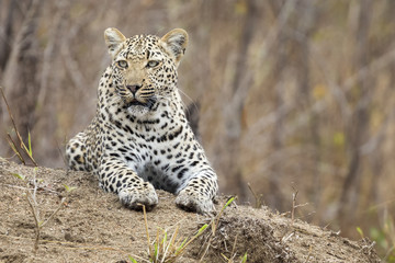 Lone leopard lay down resting on an anthill in nature during daytime