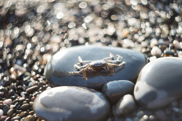 Crab on gravel. Sea animal, beach