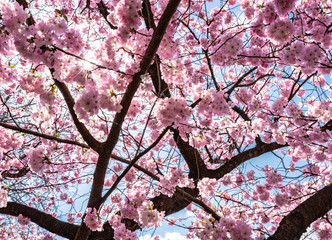 blooming cherry tree against clear blue sky