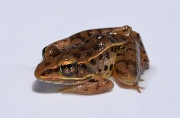 Southern leopard frog in Mississippi