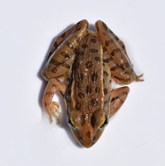 Top down view of a southern leopard frog