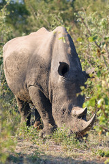 The white rhinoceros or square-lipped rhinoceros (Ceratotherium simum) is staying in bush.Big male covered with mud.