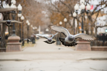 A group of city pigeons are flying along the alley in the park with lanterns during the day