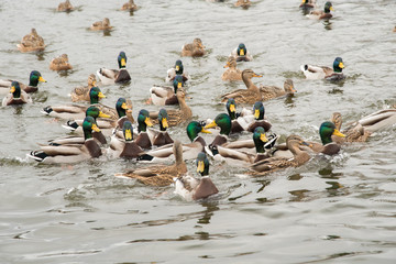 A group of beautiful brown ducks and drakes swim in the river