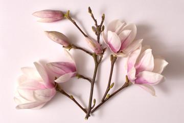 Fototapeta magnolia, kwiat, charakter, magnolia, drzew, kwiat, biała, galąź, kwiatowy, kwitnienie, flora, jardin, feuille, pora roku, magnolia gałązka, kwiat magnolii, roślina, krzew, bukiet magnolii, obraz