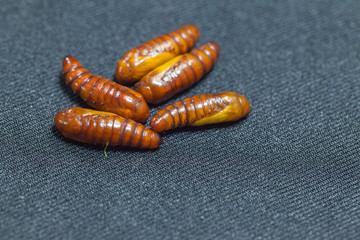 pupa of cotton bollworm on black background
