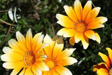 Colorful yellow Gazania Flower in the garden