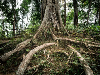 The amazing nature of the trees and giant vine. It takes about 10 or 100 years to grow. Is beautiful The nature of Thailand.
