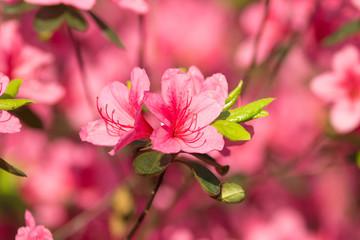 The blooming azalea flowers.