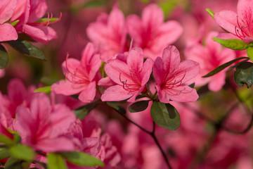 The azalea flowers.