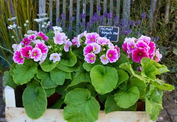 Blumendekoration mit Primeln und Lavendel