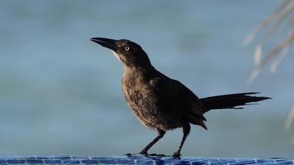 Seaside Crow