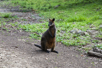 Young red kangaroo on background