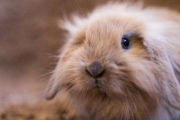 Studio shot of domestic rabbit