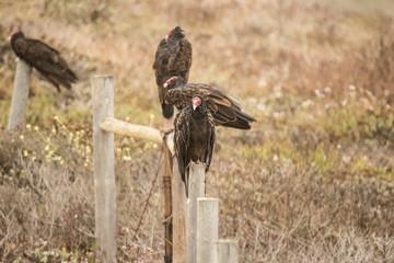 California Vultures 02