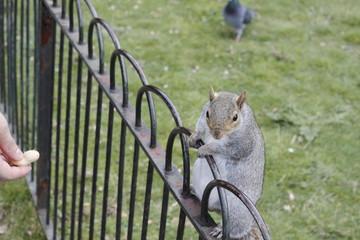 Ecureuil sur une clôture à Londres