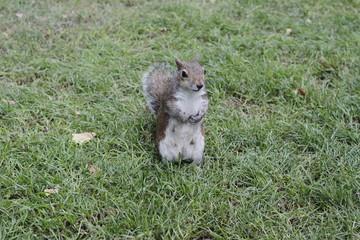 Ecureuil debout de face