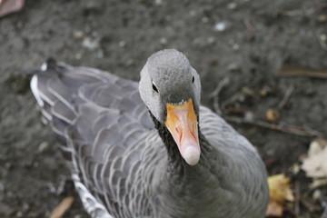 Proud duck