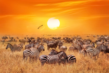 Wall Mural - Groupe of wild zebras and antelopes in the African savanna against a beautiful orange sunset.  Wild nature of Tanzania. Artistic natural african image.