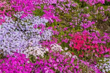 Beautiful meadow with pink flowers, close up