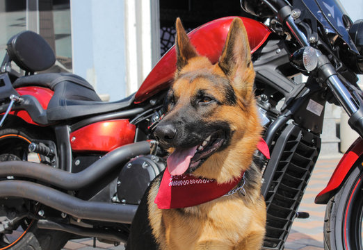 Portrait of a German Shepherd. The dog has a red bandana on his neck. Dog with a tongue outdoors on a sunny day. Age of the dog - 15 months. Near a motorcycle (chopper).