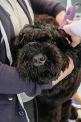 Professional care for a black terrier dog. Grooming the pet in the grooming salon.